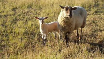 LAMBS FOR SALE Richmond Hawkesbury Area Preview