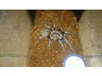Adult female Thai tarantula