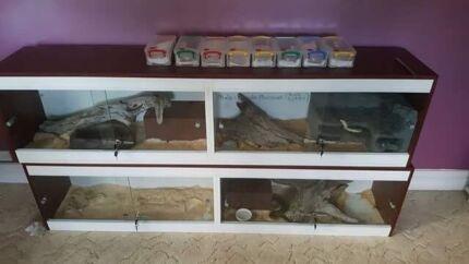 Spotted python breeding trio