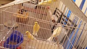 Yellow Male & Female Canaries $50 each