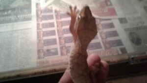 Christmas special on lizards West Island Greater Montréal image 7