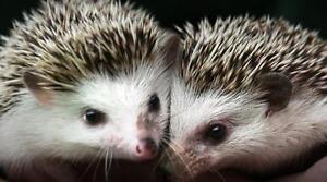 Baby hedgehogs Kawartha Lakes Peterborough Area image 2