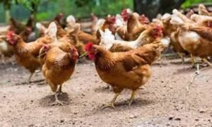 Laying Hens for sale Caledon