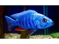 *WOW* ELECTRIC BLUE HAP* ALSO OTHER MALAWI CICHLID's, TROPICAL FISH FOR SALE, SUPER QUALITY, COLOUR!