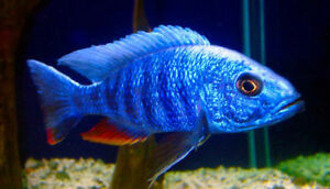 Many Male African Cichlids for sale from $5 to $25