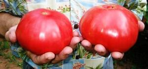 TOMATO 'Mortgage Lifter' 20 seeds OLD HEIRLOOM vegetable garden MASSIVE FRUIT