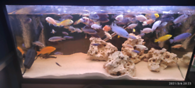 African Malawi cichlids tropical fishes