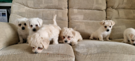 Beautiful Shih Tzu with Jack Russell puppies