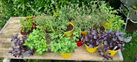Herb Plants