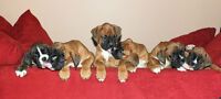 Only one CKC Registered Male Boxer Puppy Left!