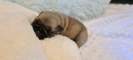 Pug puppies ALL RESERVED