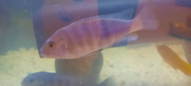 Malawis cichlid tropical fish