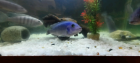Milawi cichlids £7 EACH BARGIN