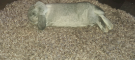 Two rabbits for sale 8 months old.