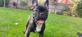 Stunning French Bulldog Puppy Boy