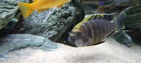 Tropical fish, malawi lake cichlids