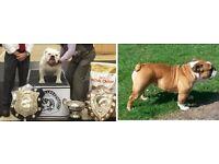 kc british bulldog !!! LAST BOY LEFT !!!