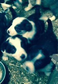 Very friendly Jack Russel pups