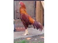 Pure aseel chicken