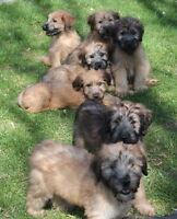 Wheaten Terrier x Poodle