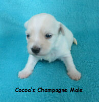 HAVANESE PUPPIES CKC REGISTERED