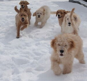 Beautiful Kid Friendly Goldendoodle Puppies