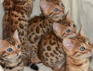 TOP QUALITY BENGAL LEOPARD KITTENS