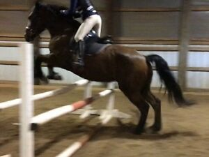16.2hh Warmblood Mare (13 y/o) for sale