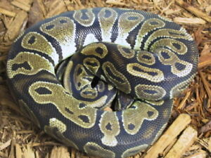 Ball Pythons for Re-homing