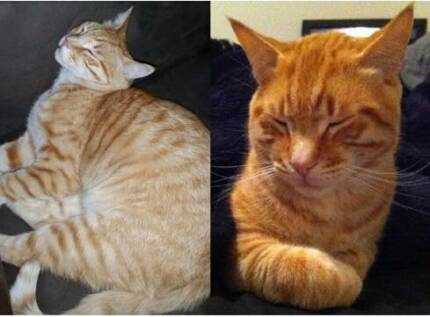 MISSING: Male Ginger Tabby Cat Koondoola Wanneroo Area Preview
