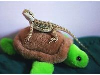 Bearded dragon with whole set up DELIVERY