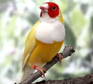 YELLOW BACKED GOULDIAN FINCHES