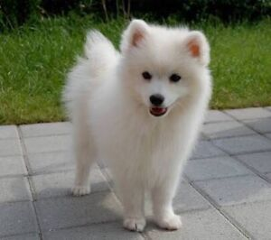 WANTED: Japanese Spitz Puppy, Female Kareela Sutherland Area Preview