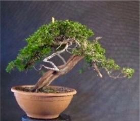 Quality Yamadori Sabina juniper material ready for styling