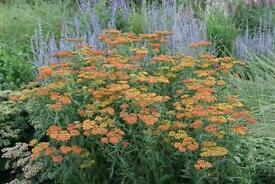 "2 x Achillea ""Inca gold"" (Yarrow) 9cm pot. Cut flower perennial."