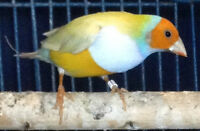 4 Gouldian Finches