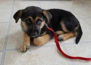 "Baby Male Dog - German Shepherd Dog: ""CAIRO"""