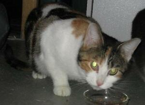 """Young Female Cat - Domestic Short Hair: """"Cléo"""""""
