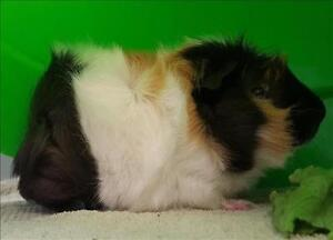 """Baby Male Small & Furry - Guinea Pig: """"Dylan"""""""