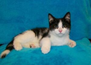 """Young Male Cat - Domestic Short Hair: """"Lawrence"""""""