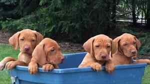 Pedigree Vizsla Puppies Kitchener / Waterloo Kitchener Area image 1