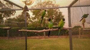 Nanday Conures Gowrie Junction Toowoomba Surrounds Preview