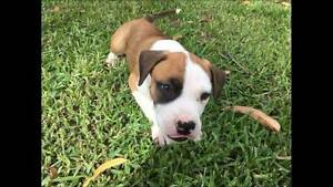 American Staffy Pups Yanchep Wanneroo Area Preview