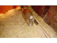 Rabbits for sale 2 left