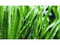 Homegrown Aloe Vera plants