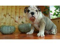 British Bulldog puppies for sale