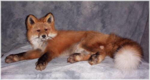 ALASKAN RED FOX LIFE SIZE TAXIDERMY MOUNT WILDLIFE ART