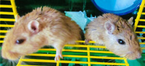 2 Male Gerbils with 2 Cages  $35 for all