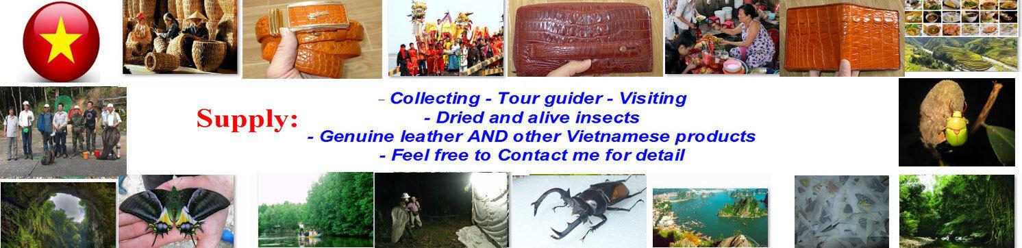 Dorcus Vietnam