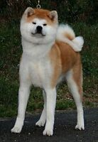 Japanese Akita---Adult Female---- to special Home-co-ownership